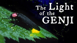 Light of the Genji - Fireflies and Artificial Light